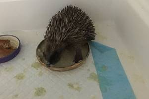 dramatic scenes as community rallies together to save hedgehogs from drowning