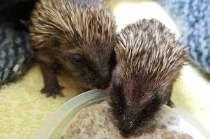 record-breaking number of hedgehogs rescued in staffordshire