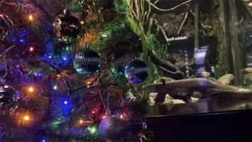 Watch: Electric Eel Lights Up Christmas Tree in Aquarium