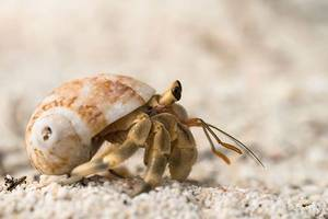 hermit crabs are confusing plastic for shells and it's killing them