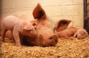 african swine fever kills 27,000 indonesia pigs
