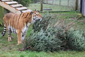 noah's ark zoo farm inundated with christmas trees after being mistaken for us sanctuary