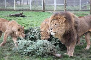 transatlantic mix up sees somerset zoo inundated with christmas trees