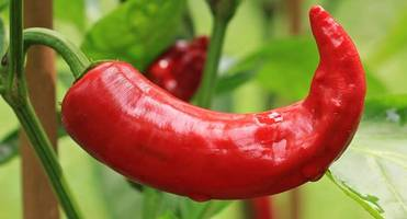 new mexico to host world's largest meeting on chili peppers