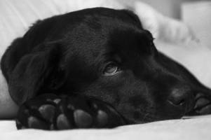 new uk alabama rot case confirmed as beloved dog dies of flesh-rotting disease