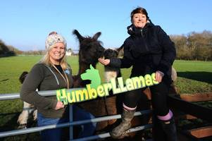 meet the adorable llamas who are transforming the lives of people across northern lincolnshire