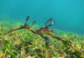 san diego aquarium successfully breeds rare weedy sea dragon fish