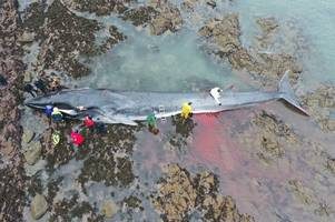 plastic ruled out in death of fin whale on prince charles' beach in cornwall