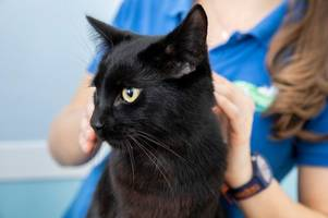 warning as hamish the cat badly burned by laundry cleanser at north staffordshire home