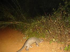malaysia a leading trafficking hub in illegal african pangolin trade