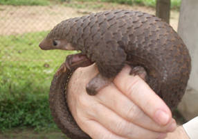 Coronavirus outbreak likely caused by illegal pangolin trade, study shows