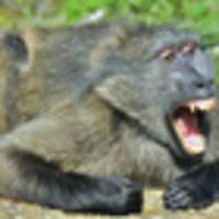 baboons on the loose in sydney