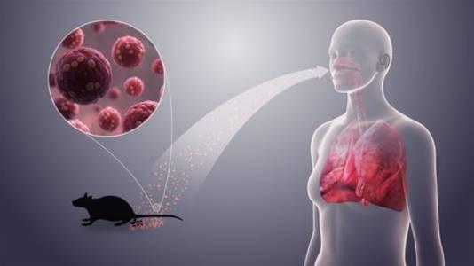 hantavirus: why a coronavirus-like pandemic is not possible