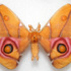 michelle dickinson: nanogirl -  deaf moth  helps with soundproof science