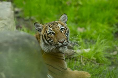 Tigers (and other cats) can catch the coronavirus